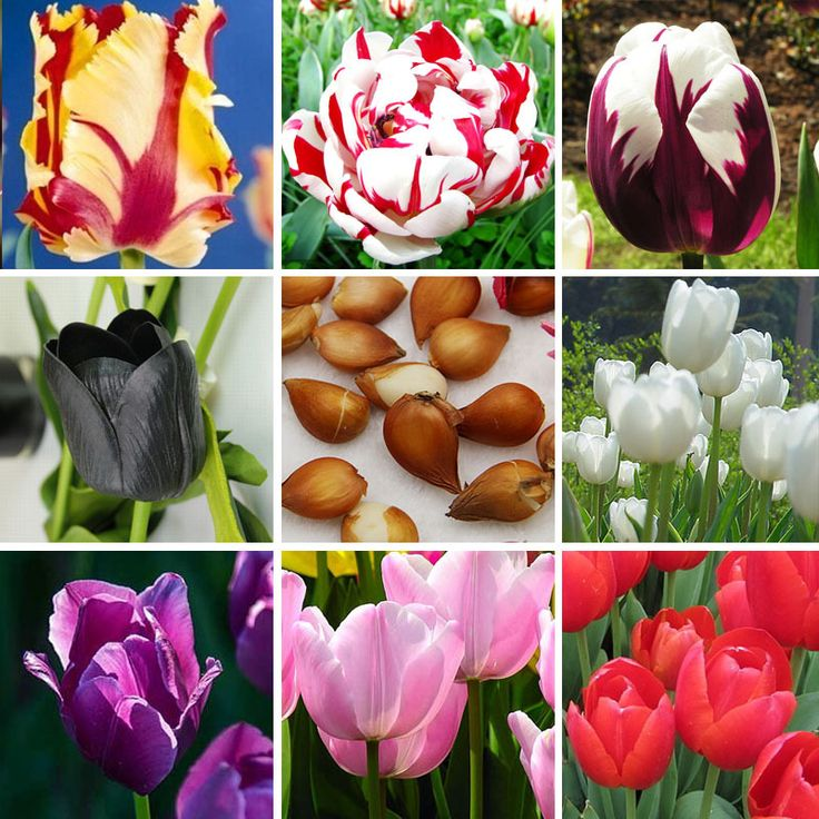 1 pcs Tulip Bulbs (Not Tulip Seeds), 19 colors available Tulips Variety Fresh Bulbous Root Flower Corms Planted
