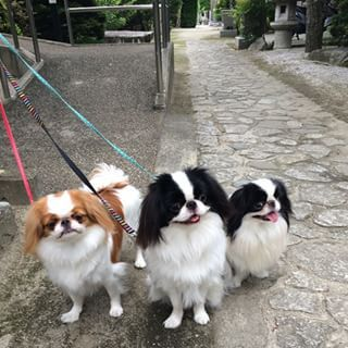 Their compact size makes them great apartment dogs.   29 Pics That Prove That Japanese Chins Are The Cutest Dogs Around