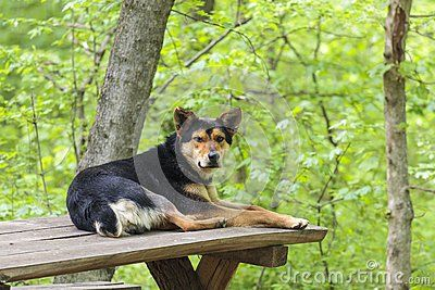 Old stray abandoned dog resting on wooden table in the forest and waiting for tourists to come and feed him.