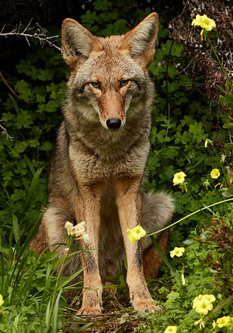 Urban coyote in Bernal Heights, San Francisco