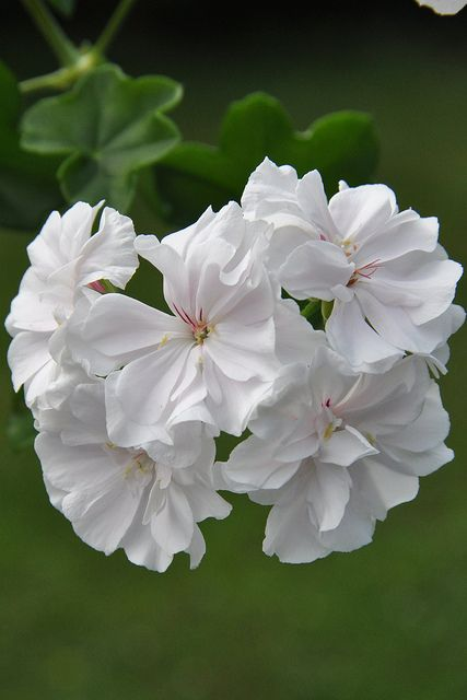 Pelargonium 'Snowdrift' | White geranium-- I plant white geraniums near my roses every year. Japanese Beetle are attracted to the geraniums instead of your roses. So far, never have had a beetle attack on my rose plants!