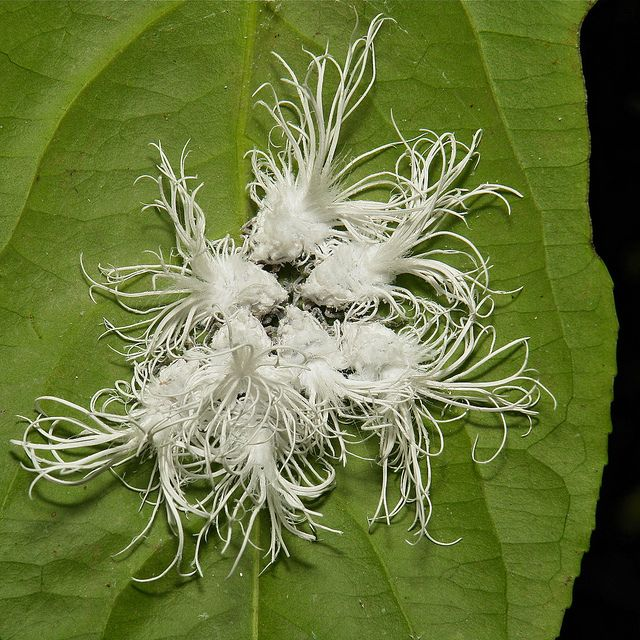 Chinese Whispers by itchydogimages, via Flickr  Flatid Planthopper Nymphs  Pu'er, Yunnan, China