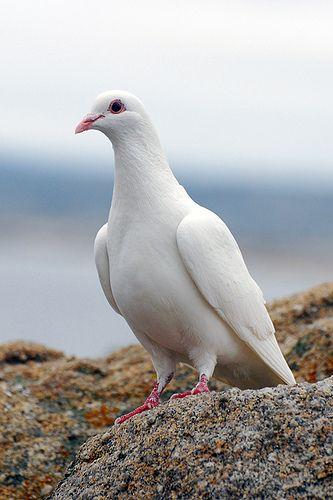 White Dove (Streptopelia alba) North America                                                                                                                                                     More