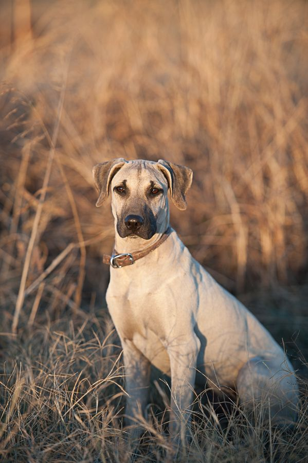 Blackmouthcurs Blackmouth Cur Dog Buster Is The Head Of Security At The Wagon Wheel Ranch Dog Photos Black Mouth Cur Dogs