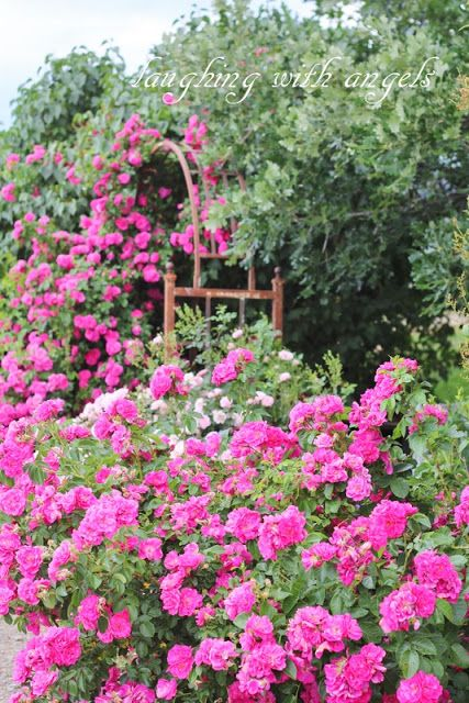 Grace Gardens... and more luscious climbing roses!!! those English