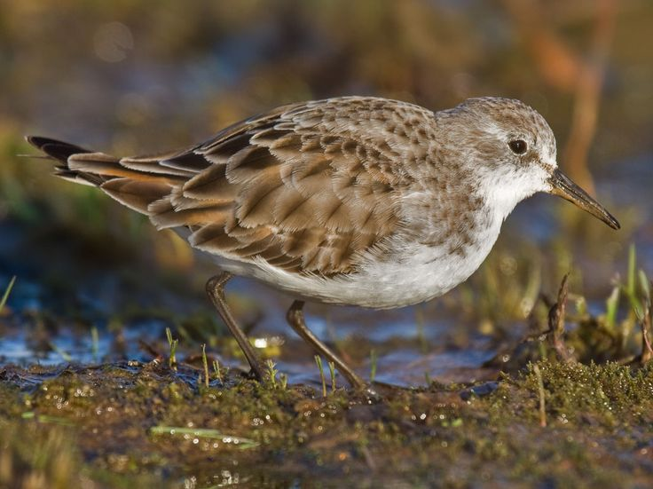 Little Stint (Calidris minuta) by Andreas Trepte.