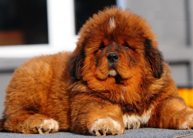 #Tibetan #Mastiff puppie These dogs are amazing, I would like to see one, that would be wow