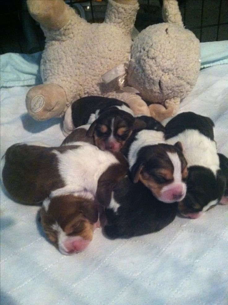 Newborn beagle puppies. So cute!! | Puppies | Pinterest ...