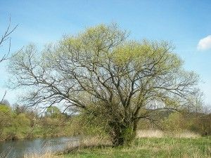 White Willow Bark – Benefits and Side Effects