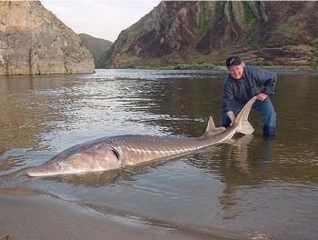 Sturgeon caught in the Danube River near the Iron Gates Dam