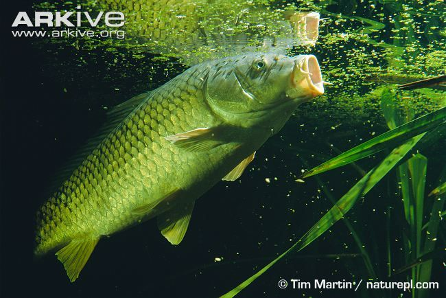 The carp that occurs in Britain today is the most commercially important freshwater fish kept in ponds, and has been selectively bred for centuries. This breeding has led to two main differences...