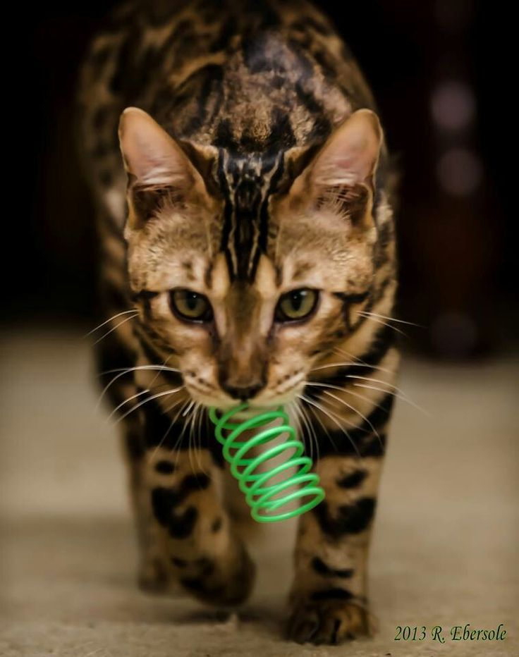 Bangle cat | Bangle cats | Pinterest
