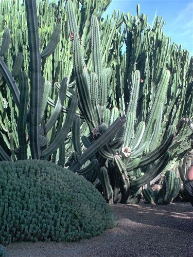 Barcelona's Montjuïc Cactus Park in Spain is home to 800 cactus species, creating a surreal cactus forest which is densely populated with cacti more than ten feet high. http://www.barcelonaconnect.com/montjuic-cactus-park/