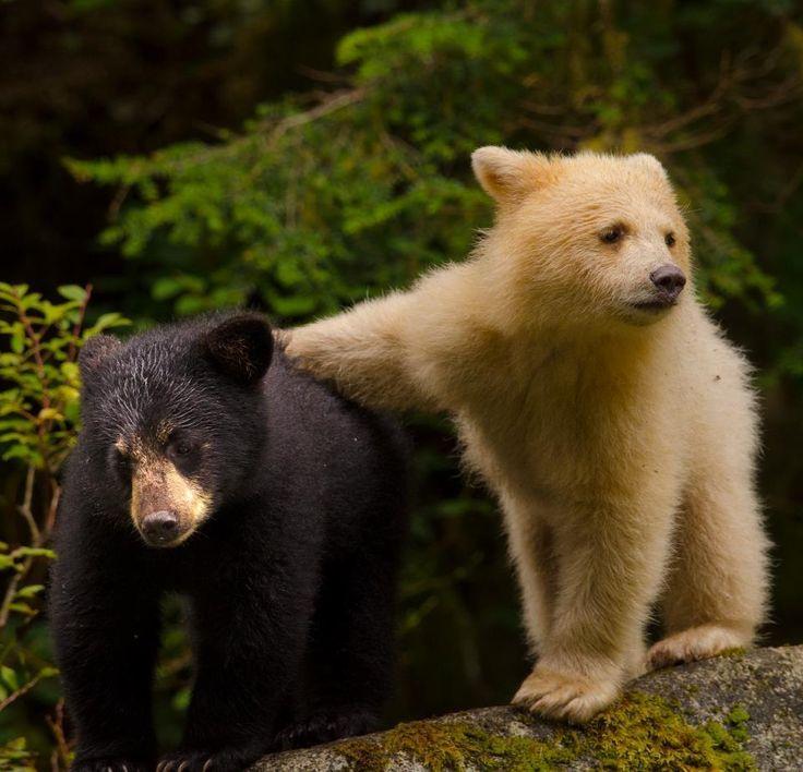 Photo by Ian McAllister of a Spirit bear and a black bear. Spirit bear is the…