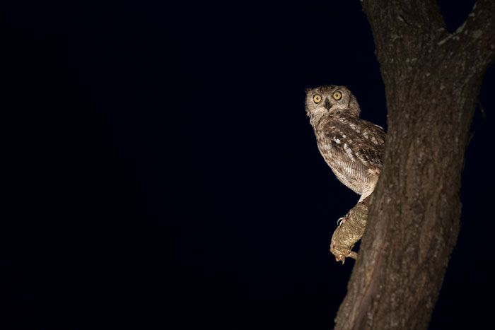 We had a good run of luck on this evening, seeing a Pearl-Spotted owl, a Verraux's Eagle owl, and to complete the trio, this Spotted Eagle O...