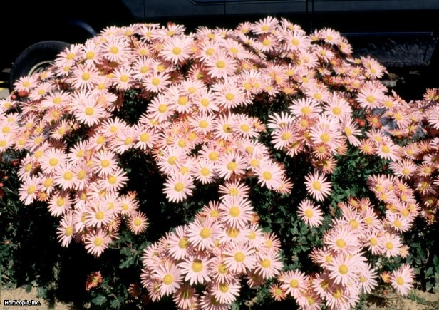 Florists Chrysanthemum (Dendranthema x grandiflorum Sheffield)