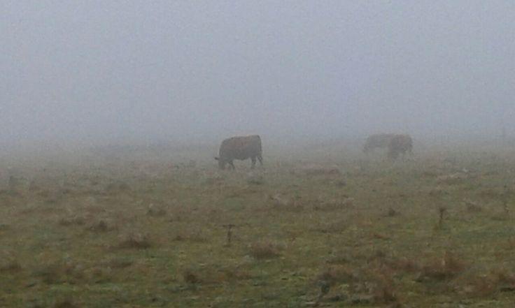 Creepy cows in the fog