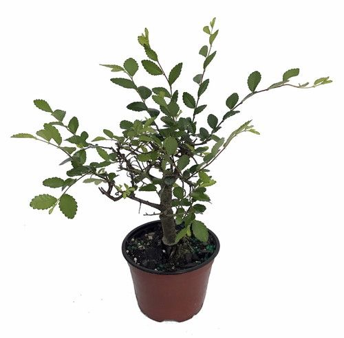 "Imported Japanese Zelkova Bonsai Tree - 4"""" Pot"