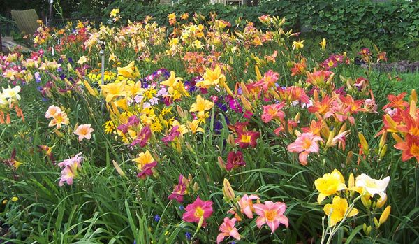 Daylily (Hemerocallis), 1 to 3 ft., full sun to full shade, drought tolerant once established, good cut flower.