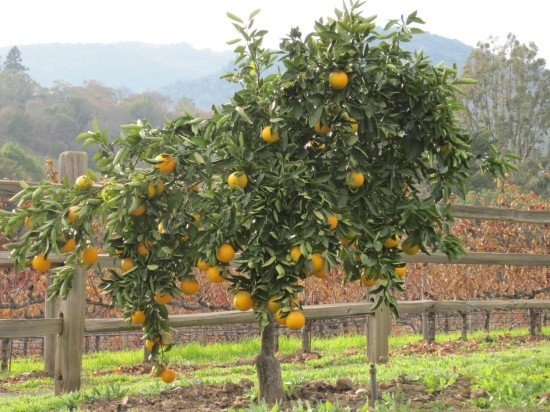 Dwarf citrus perfect for my little yard 39 yes please - Fruit trees in small spaces decoration ...
