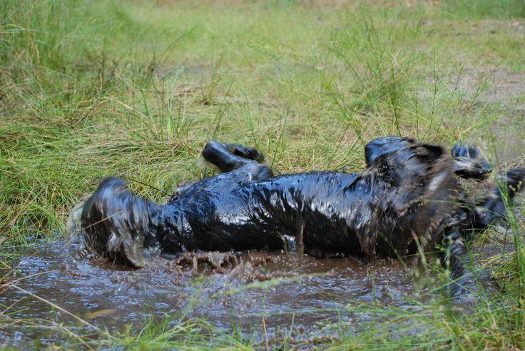 Grote Munsterlander Eppo... tja, water of modder... het maakt een grote munsterlander niets uit...