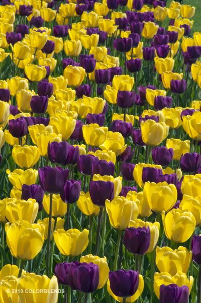 Tulip 'The Royals' ™ from COLORBLENDS.  Fabulous company with top quality bulbs at wholesale prices!