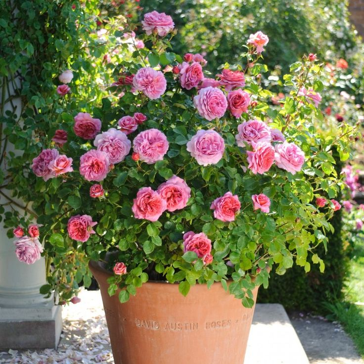 Princess Alexandra of Kent - David Austin Roses