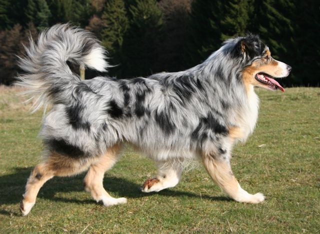 australian shepherd - That's how I like my australian shepherds (in general). Blue merle with tan and white, and with a full tail instead of the bob!