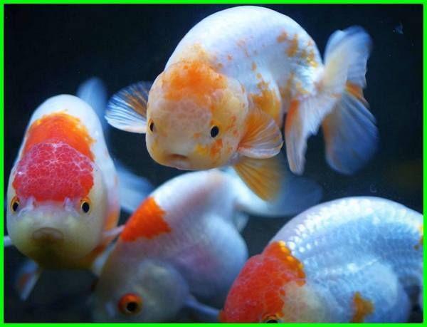Pin Di Pecinta Ikan