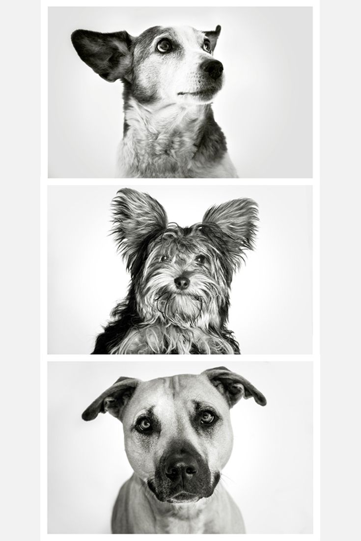 Like and repin. Pet photography by Paul Hamberger. Black and white studio portraits of dogs.
