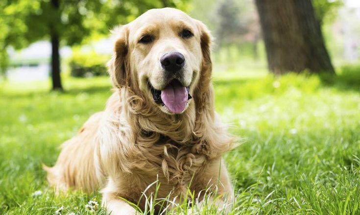Kutyák, akiket az amerikai elnökök is szerettek: a golden retriever | Sokszínű vidék