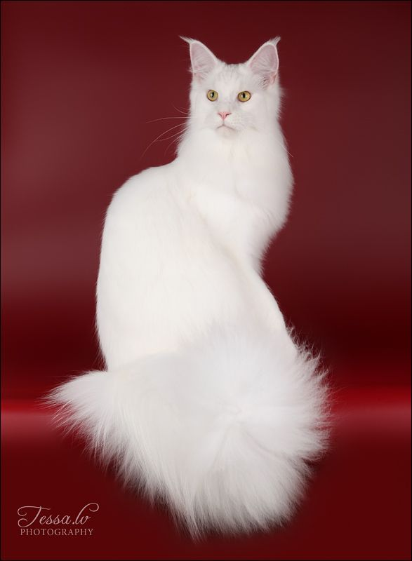 White Main Coon Cat. (check out the ears and long face)