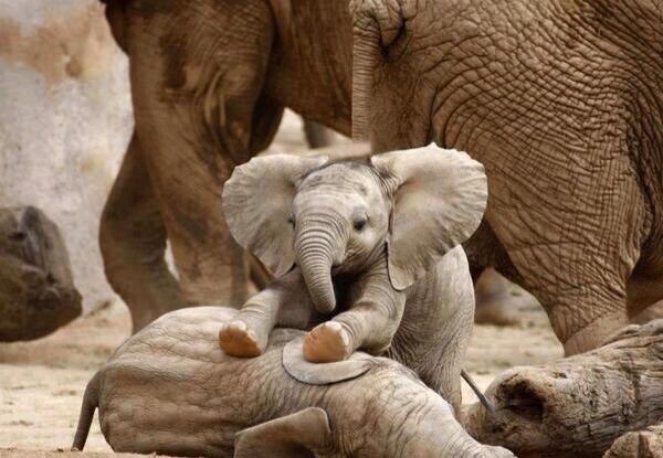 Bebé elefante masajista