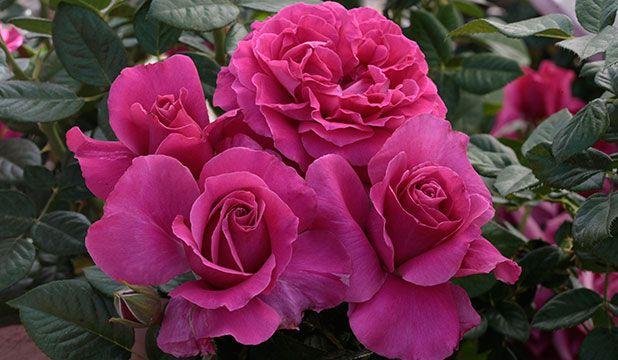 Weeks Roses ● Wholesale Rose Grower