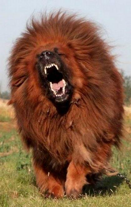 Tibetan Mastiff..!