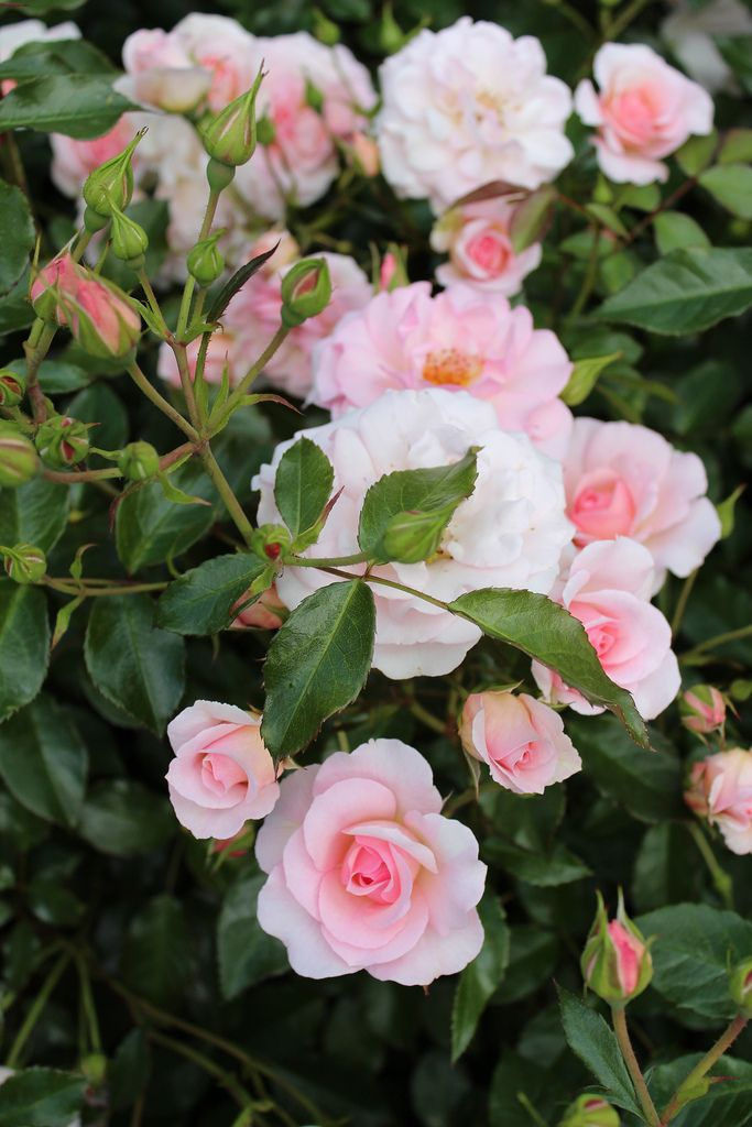 'Rosario'   Climber, Large-Flowered Climber, Shrub rose. Bred by Hans Jürgen Evers (Germany, 1993)   Flickr - © Lilja Sirpale