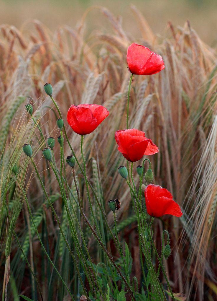 Armistice Poppies growing in wheat fields....