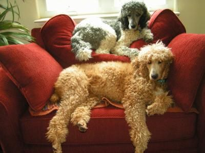 Lounging Poodles