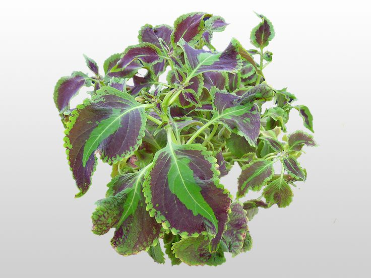 Plants With Beautiful Leaves: Coleus Houseplants Get Tiny Flowers They  Canu0027t Compete With The Beautiful Multi Colored Leaves And Leaf Shapes Of A  Coleus ...
