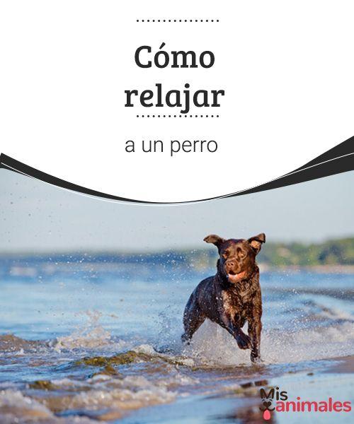 Cómo relajar a un perro A continuación te damos algunos consejos para relajar a un perro, porque las mascotas, al igual que los humanos, se alteran por cuestiones de la vida cotidiana. #relajar #consejos #alterarse #canino