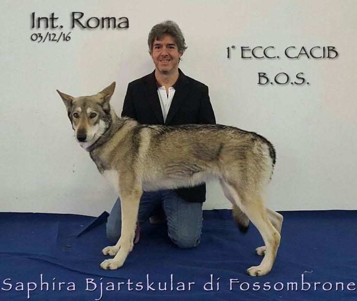 Saphira Bjartskular di Fossombrone 1º Ecc. CACIB 🏆 alla Esposizione Internazionale Canina di ROMA 2016!! #Saarloos #DiFossombrone