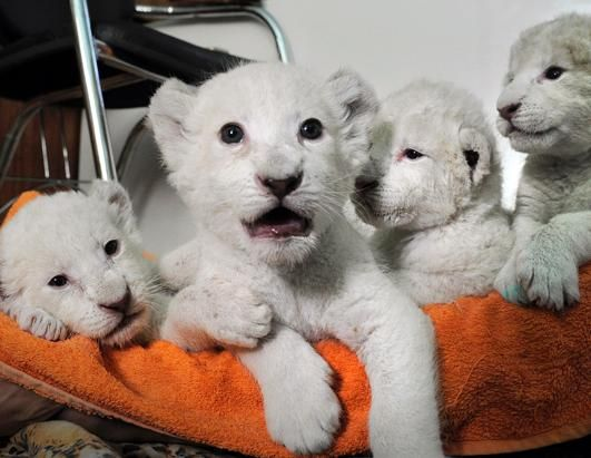 White Lion cubs at the Ukraine Zoo