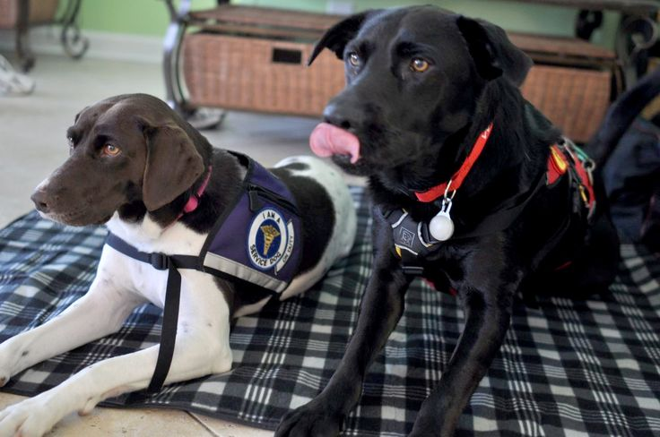 If you think you need a service dog, there is a lot to consider. Service dogs are highly trained working dogs, and there are federal laws to protect their rights.