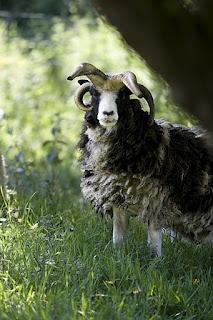 Dyonisos ... Notre bélier Mouton de Jacob ... à découvrir dans nos parcs animaliers lors de votre séjour en Gite au Domaine du Martinaa.  Race rare en France et originaire d'Ecosse ... une des races que nous conservons avec d'autres encore plus rares dans nos parcs ...  à bientot pour un weekend ou des vacances en Normandie ...  Bises du Martinaa  ... Kiss From Martinaa...  Valérie  ... www.martinaa.fr