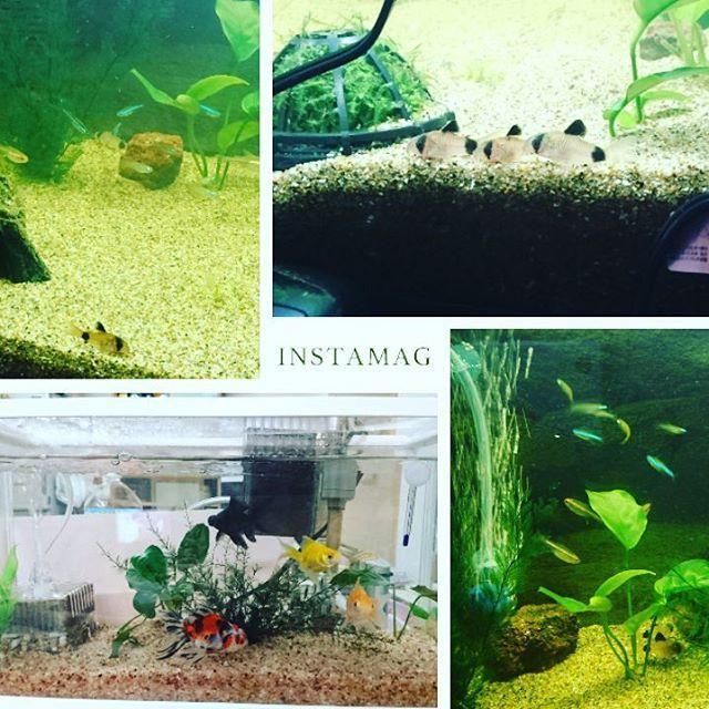 【yumetannn】さんのInstagramをピンしています。 《#我が家 の#アクアリウム ⚫ #金魚#デメキン #琉金#姉金#あずまにしき #ランプアイ #グリーンネオンテトラ #コリドラス#パンダ #グローライトテトラ #只今#熱帯魚#水槽 は#薬漬け》