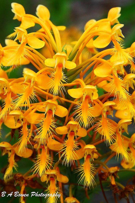 u02daorange fringed orchids