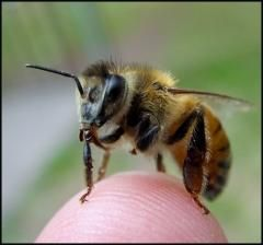 Researchers find high-fructose corn syrup may be tied to worldwide collapse of bee colonies