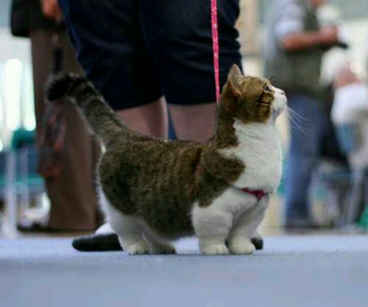 Munchkin Cat. I adore this. It has tiny little legs!