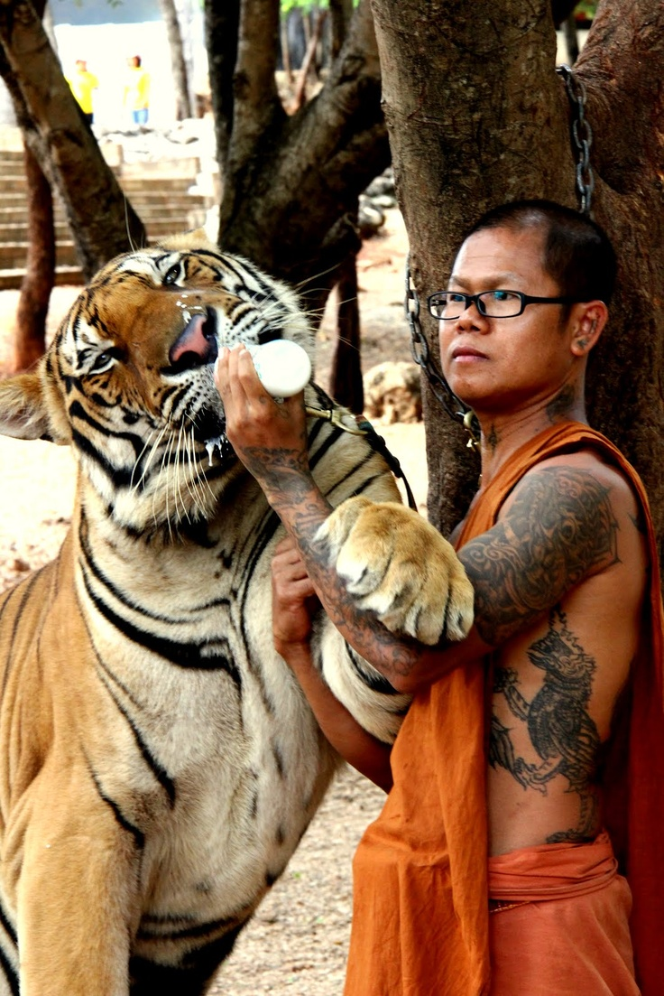 Tiger Temple, or Wat Pha Luang Ta Bua, is a Theravada Buddhist temple in western Thailand that was founded in 1994 as a forest temple and sanctuary for wild animals, among them several tigers, the majority of which are Indochinese tigers.