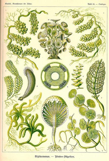 {Ernst Haeckel Print c.1898} Art Forms in Nature